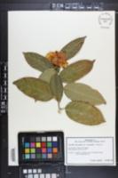 Image of Camellia chrysantha