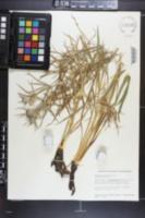 Image of Eryngium serbicum