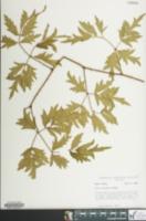 Image of Rubus laciniatus