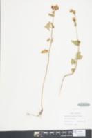 Fagopyrum esculentum image