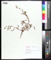 Image of Persicaria maculata