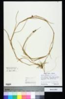 Cenchrus longispinus image