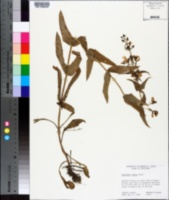 Image of Penstemon tenuis