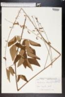 Meibomia rhombifolia image