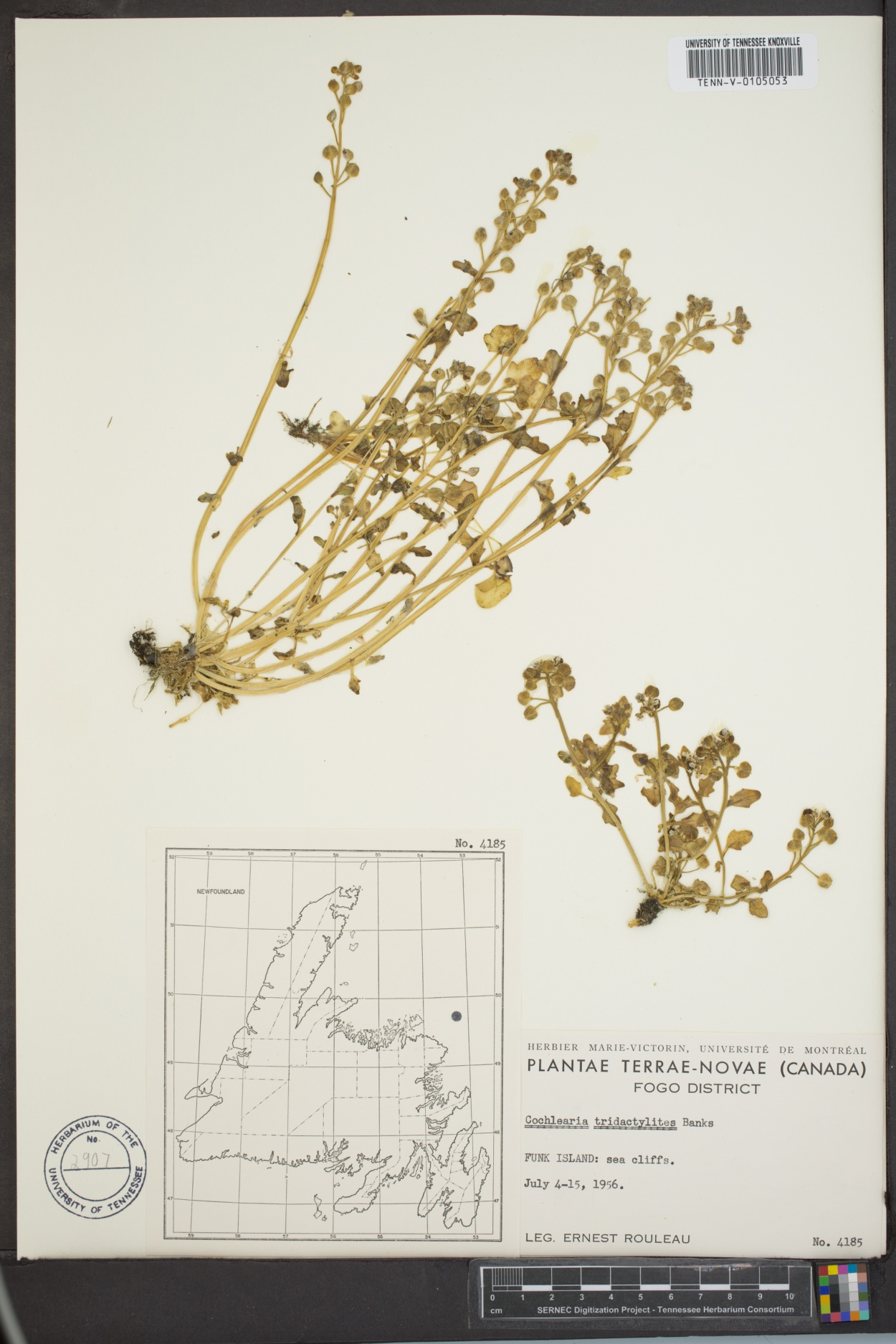 Cochlearia tridactylites image