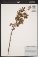 Image of Fraxinus dipetala
