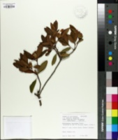 Image of Rhododendron latoucheae