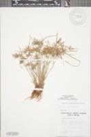 Cyperus flavescens image