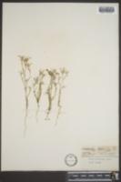 Gilia filifolia image