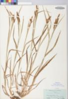 Carex shortiana image