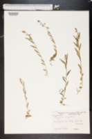 Image of Polygala vulgaris
