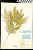 Ambrosia trifida image