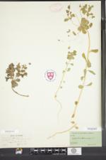 Euphorbia helioscopia image