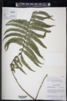 Amauropelta pilosula image