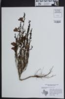 Image of Agalinis heterophylla
