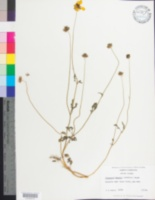 Image of Coreopsis basalis