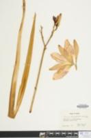 Crinum bulbispermum image