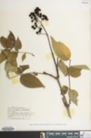Image of Phellodendron chinense