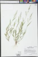 Urochloa arizonica image
