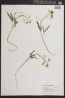 Image of Cardamine angulata
