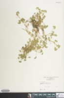 Image of Ranunculus hederaceus