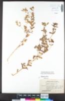 Mimetanthe pilosa image
