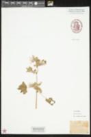 Malva sylvestris image