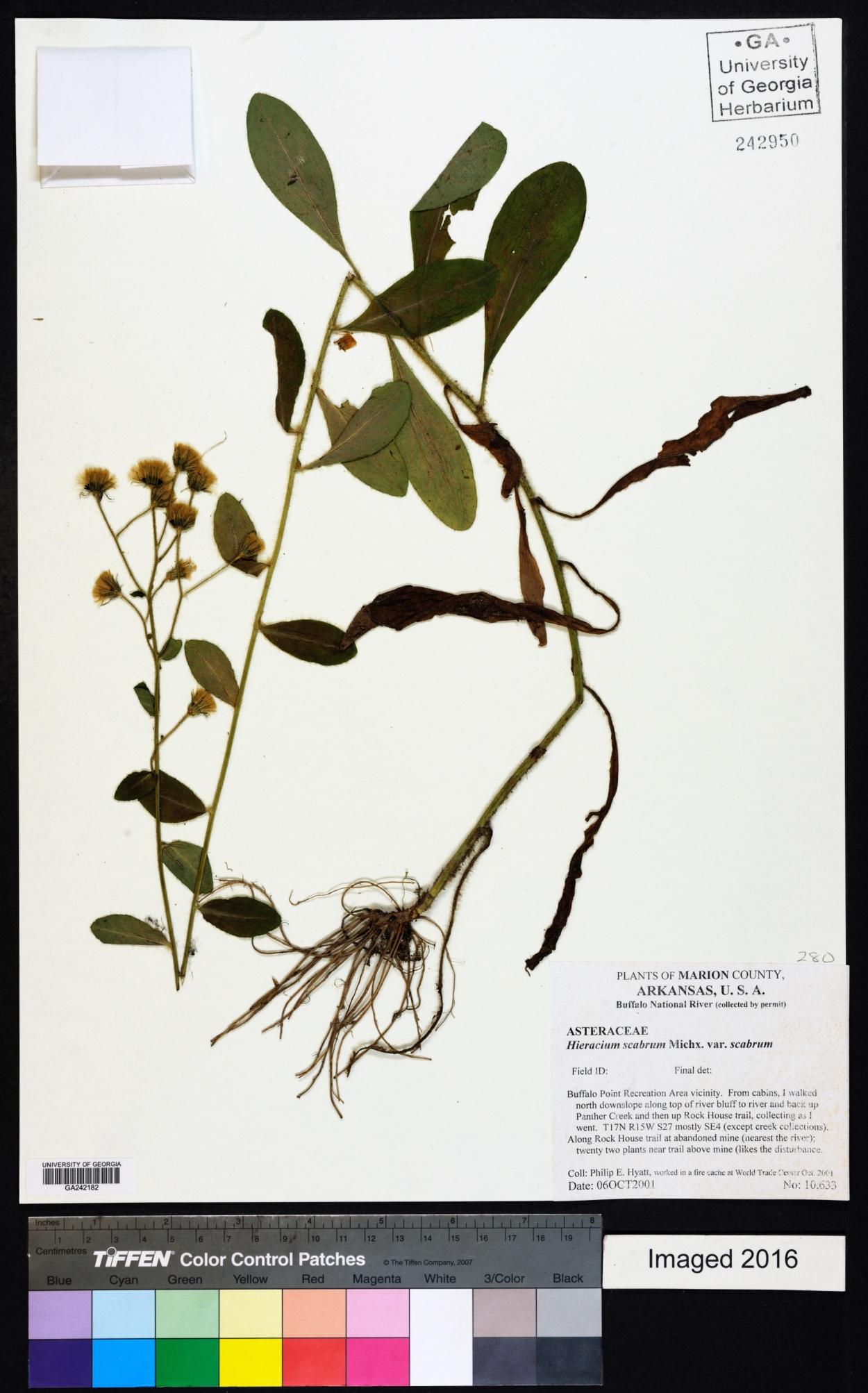 Hieracium scabrum var. scabrum image