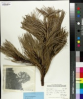 Image of Pinus cooperi