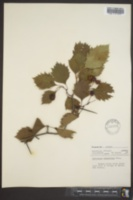 Image of Crataegus brunetiana