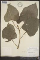 Populus deltoides image