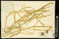 Glyceria septentrionalis var. arkansana image