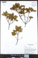 Image of Chamaebatia foliolosa