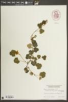 Image of Rubus calycinoides