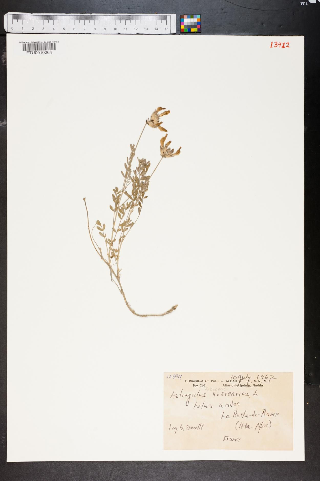 Astragalus vesicarius image
