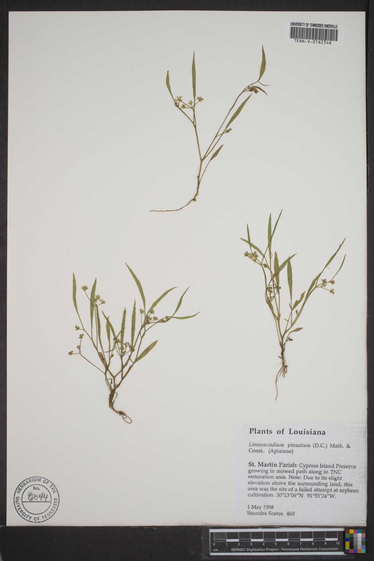 Limnosciadium image