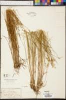 Carex stellulata image