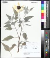 Image of Helianthus argophyllus