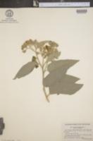Solanum paniculatum image