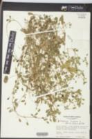 Medicago lupulina image