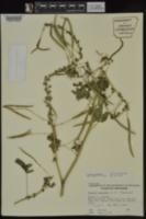 Gynandropsis image