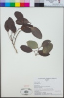 Image of Celtis harperi