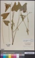 Image of Callirhoe triangulata