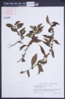 Image of Enicostema verticillatum