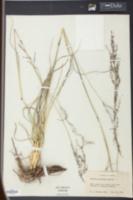 Image of Panicum abscissum
