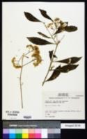 Vernonia triflosculosa image