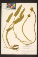 Nuphar sagittifolia image