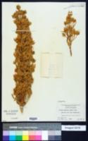 Image of Swertia speciosa