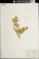 Dermatophyllum secundiflorum image