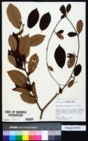 Image of Byttneria fulva